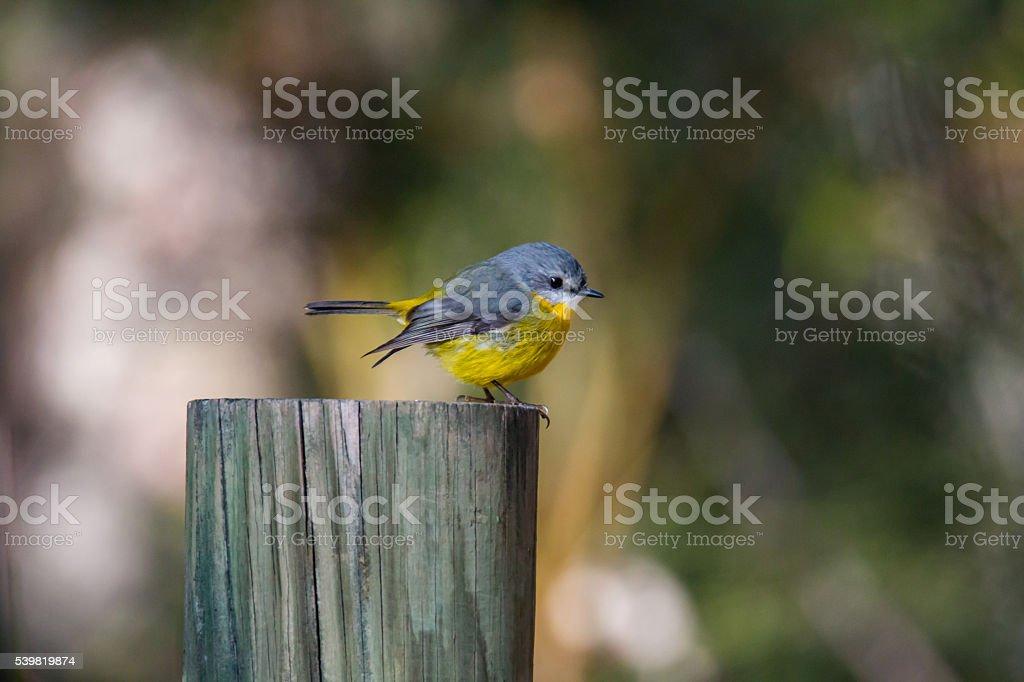 Tiny Eastern Yellow Robin stock photo