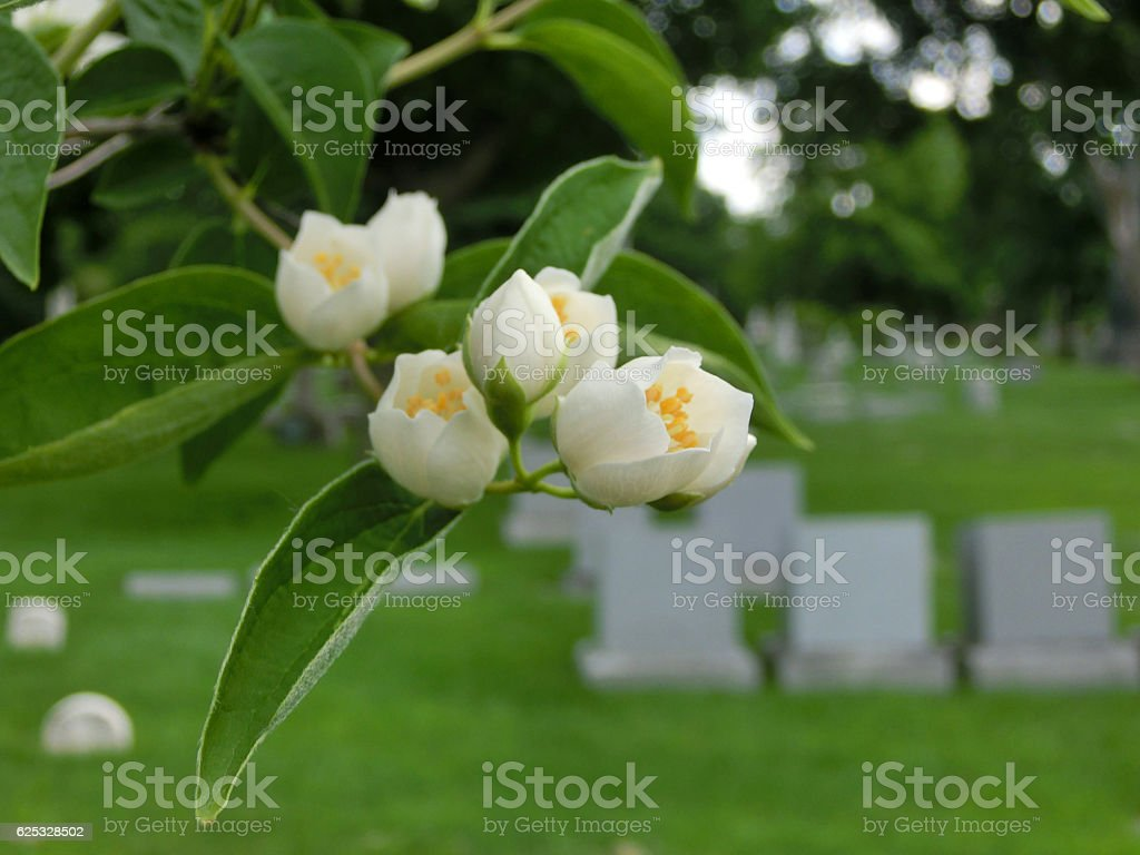 Tiny flower buds macro in cemetery with tombstones stock photo