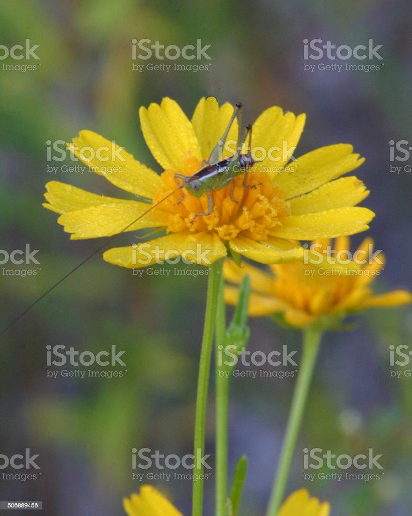 Tiny grasshopper on yellow flower stock photo