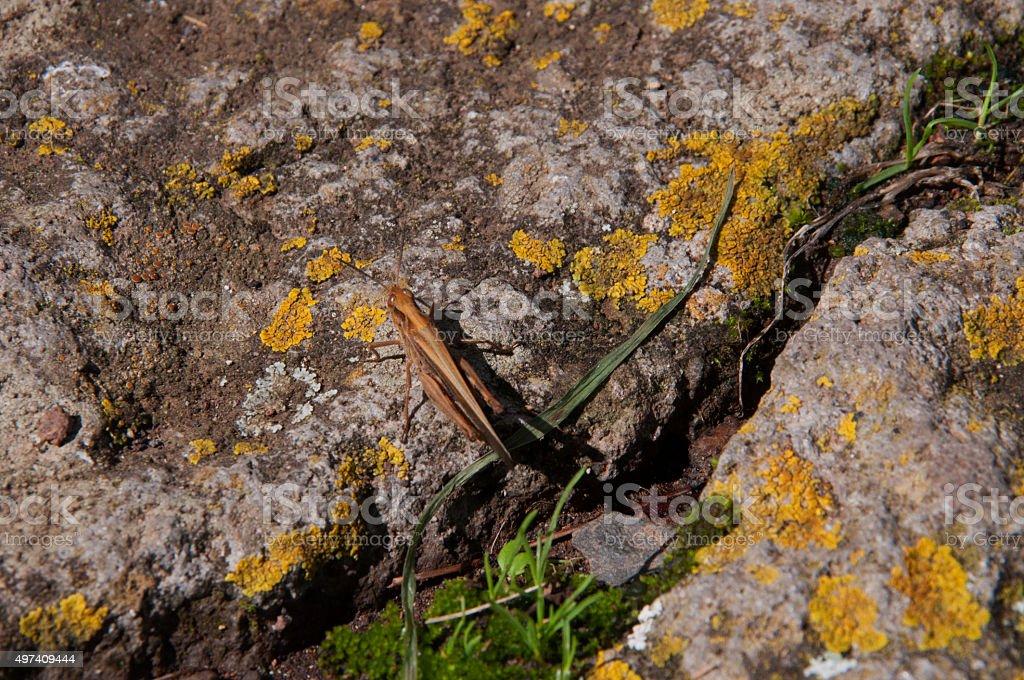 Tiny Grasshopper stock photo