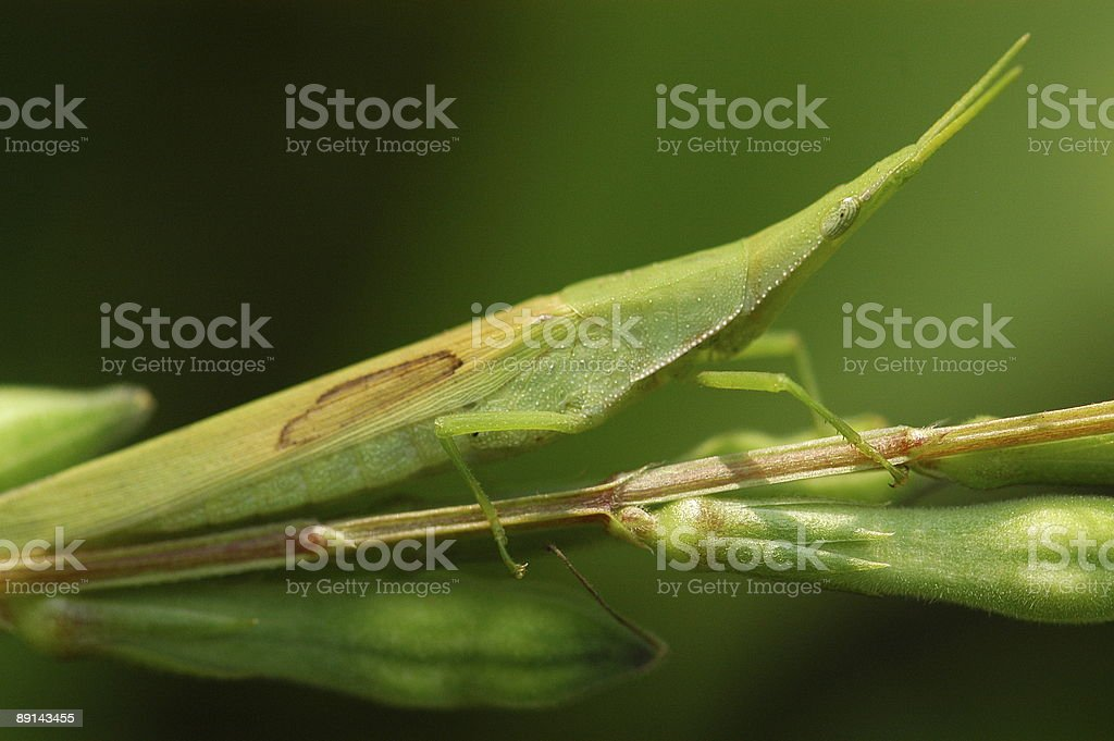 tiny green color grasshopper in the gardens royalty-free stock photo
