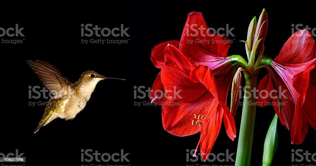 Tiny hummingbird feeding from beautiful lily stock photo