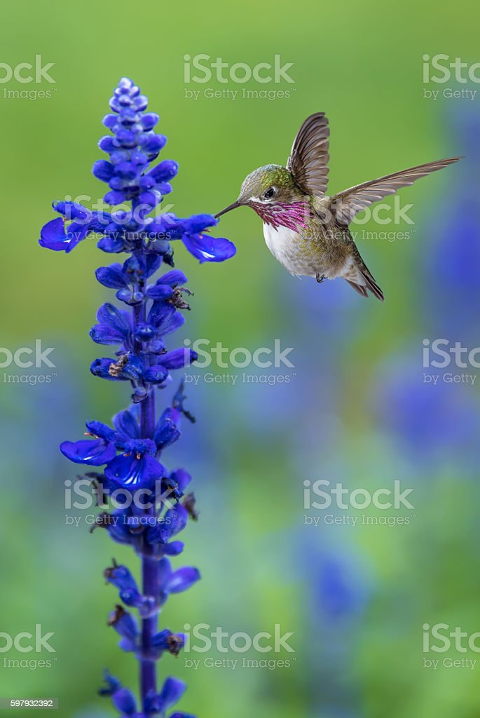 Tiny Hummingbird in the Garden Vertical Image stock photo