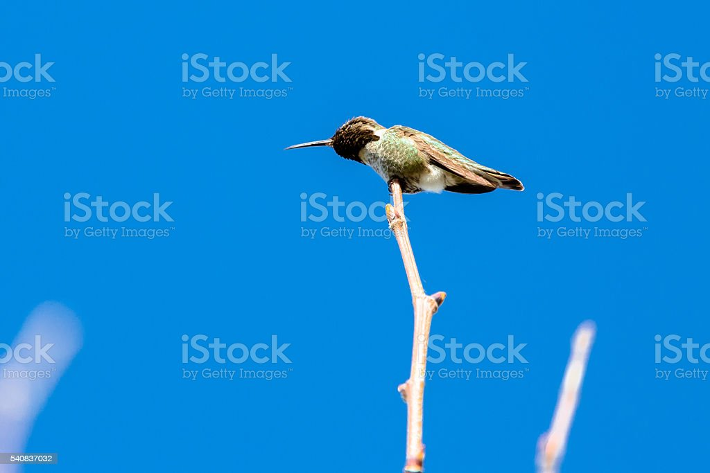 Tiny Hummingbird on the Top of a Bush stock photo
