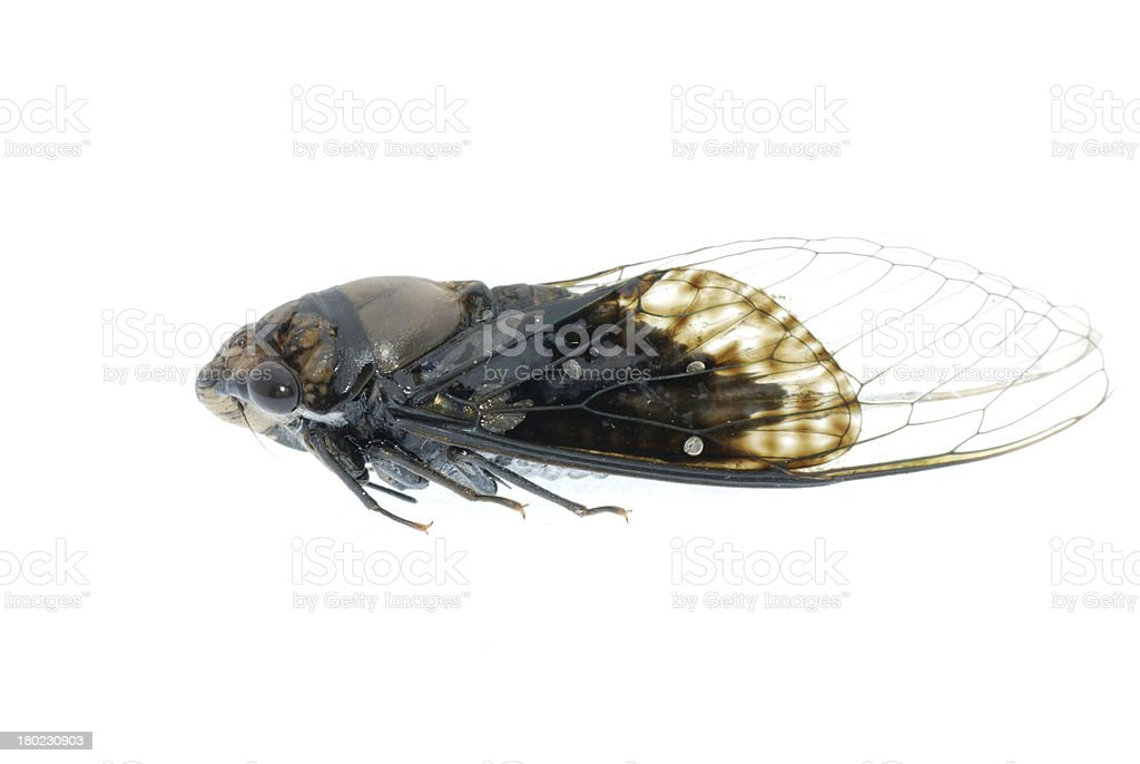 tiny insect black cicada royalty-free stock photo