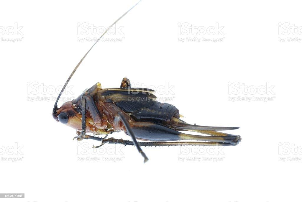 tiny insect grasshopper bug  isolated stock photo
