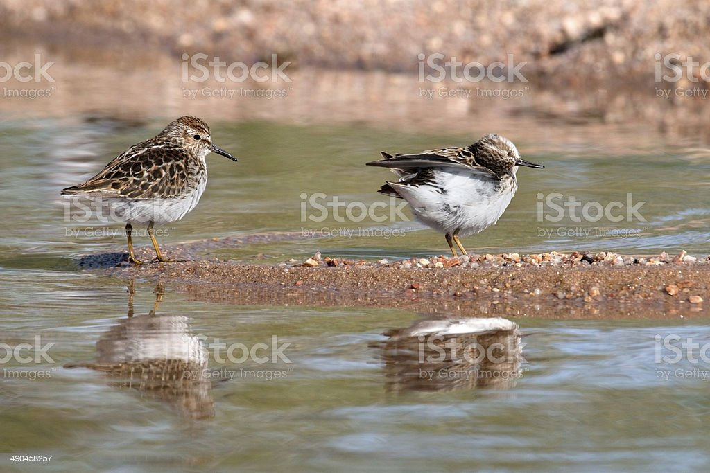 Tiny least sandpipers Chatfield State Park Colorado stock photo