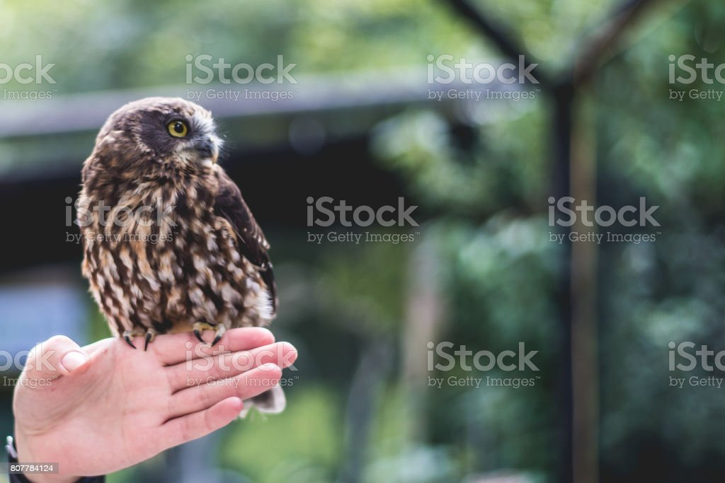 Tiny morepork owl (ruru) stock photo