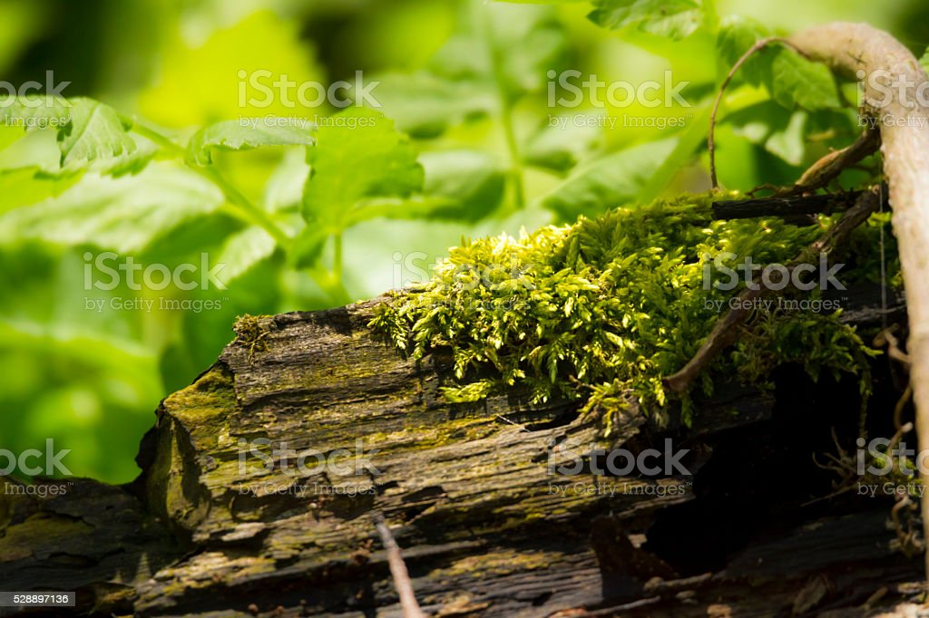 Tiny Moss Growing On A tree Trunk stock photo