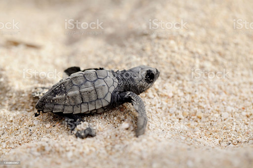 A tiny olive ridley sea turtle crawling on sand stock photo