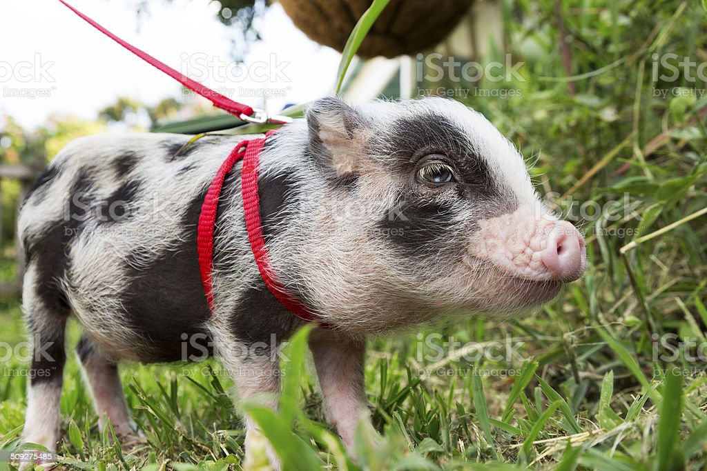Tiny Pet Pig stock photo
