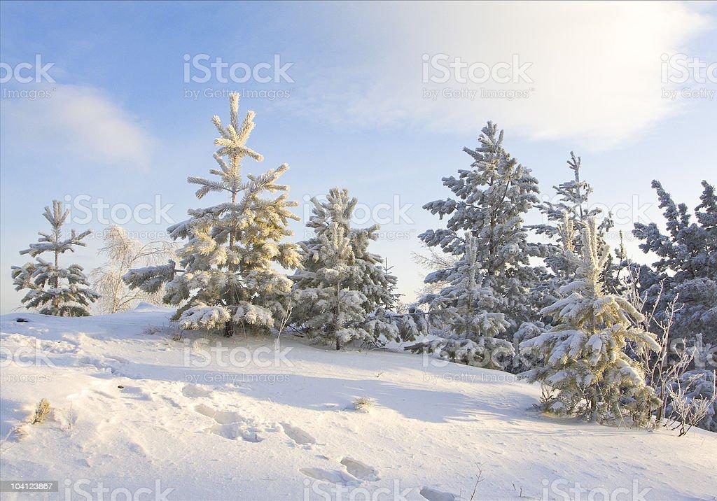 Tiny pines royalty-free stock photo