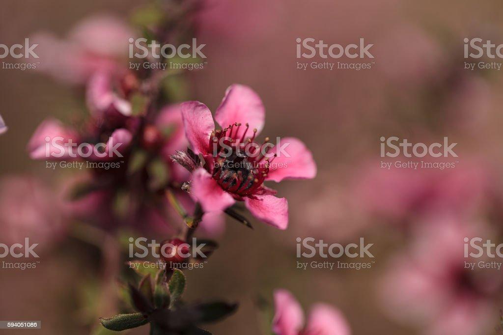 Tiny pink flowers on a Leptospermum Tea Tree bush stock photo