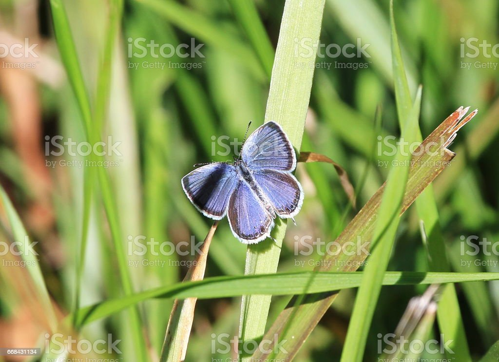 Tiny Red-banded Hairstreak Butterfly stock photo