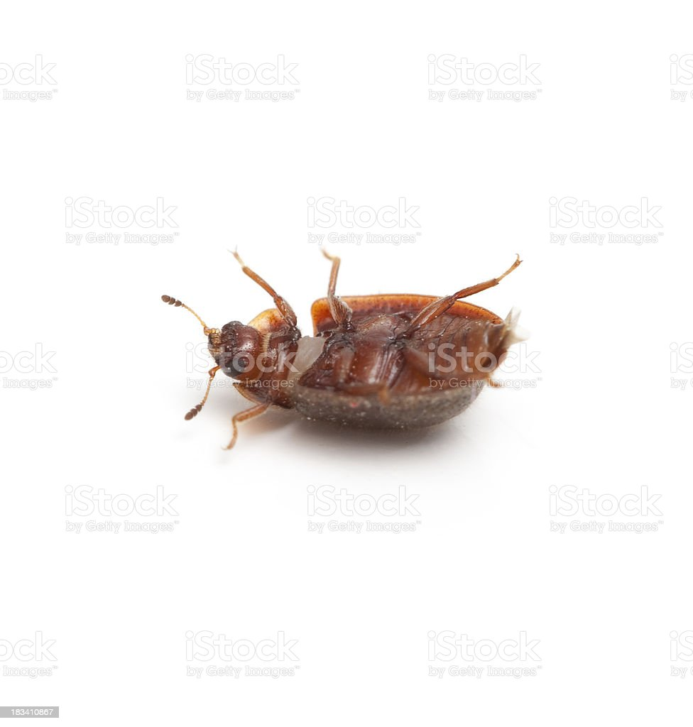 Tiny Round Beetle on Back stock photo