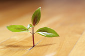 Tiny shoot of a plant grows through the wood floor