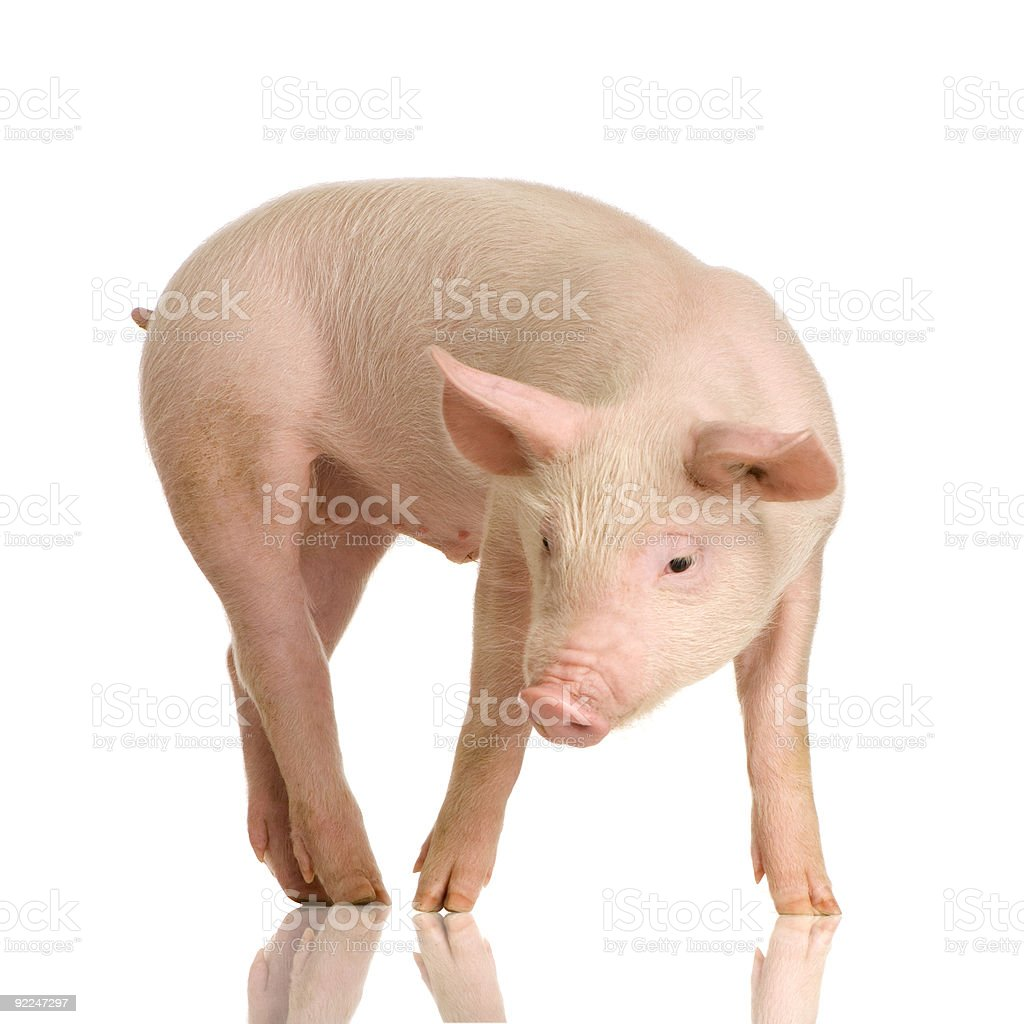 A tiny skinny pig with long legs stock photo