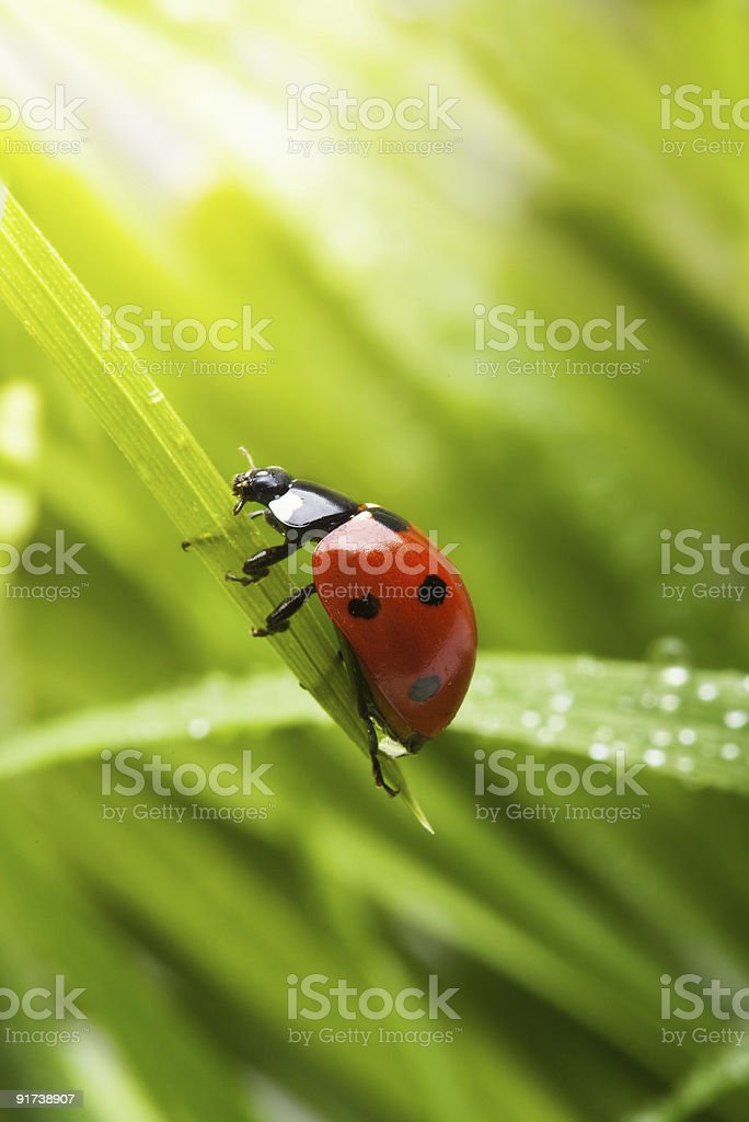 A tiny spring ladybird holding on to a green leaf  stock photo
