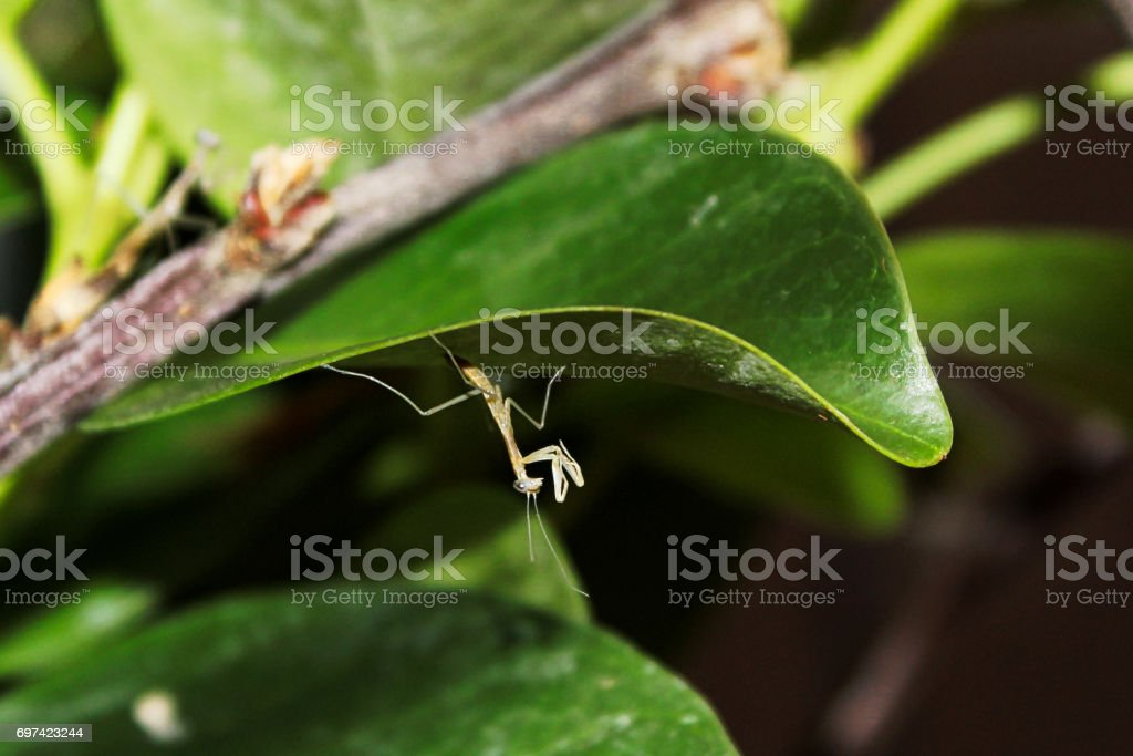 A tiny translucent praying mantis nymph minutes after hatching stock photo