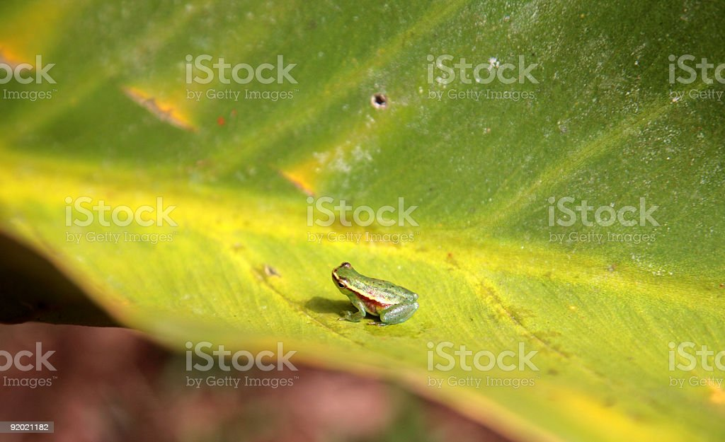 Tiny tree frog sitting on green leaf in amazon, Brazil royalty-free stock photo