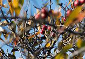 Tiny wild apples