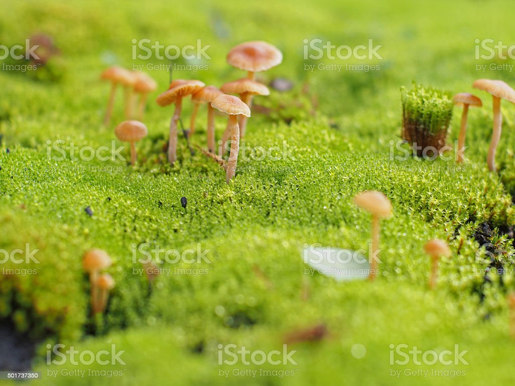 Tiny Wild Mushrooms on Forest Floor Among Moss stock photo