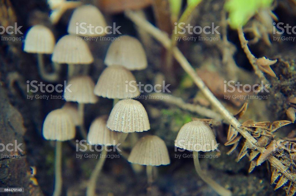Tiny wild white mushrooms growing on the tree closeup stock photo