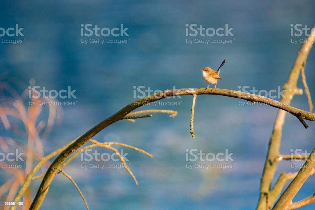 Tiny Wren stock photo