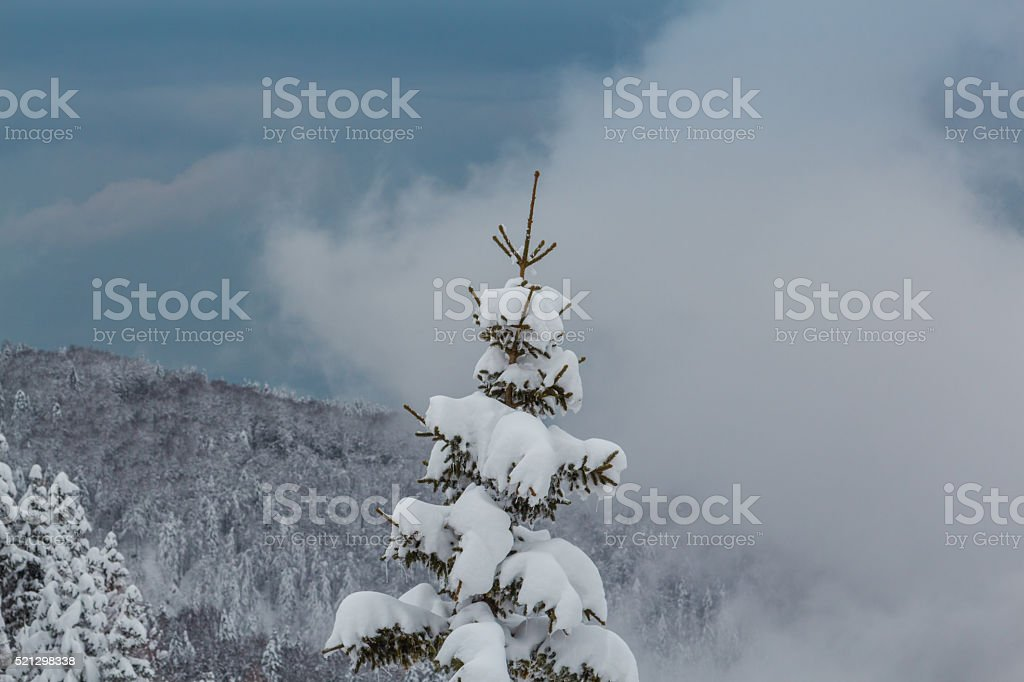 Tip of the fir tree. stock photo