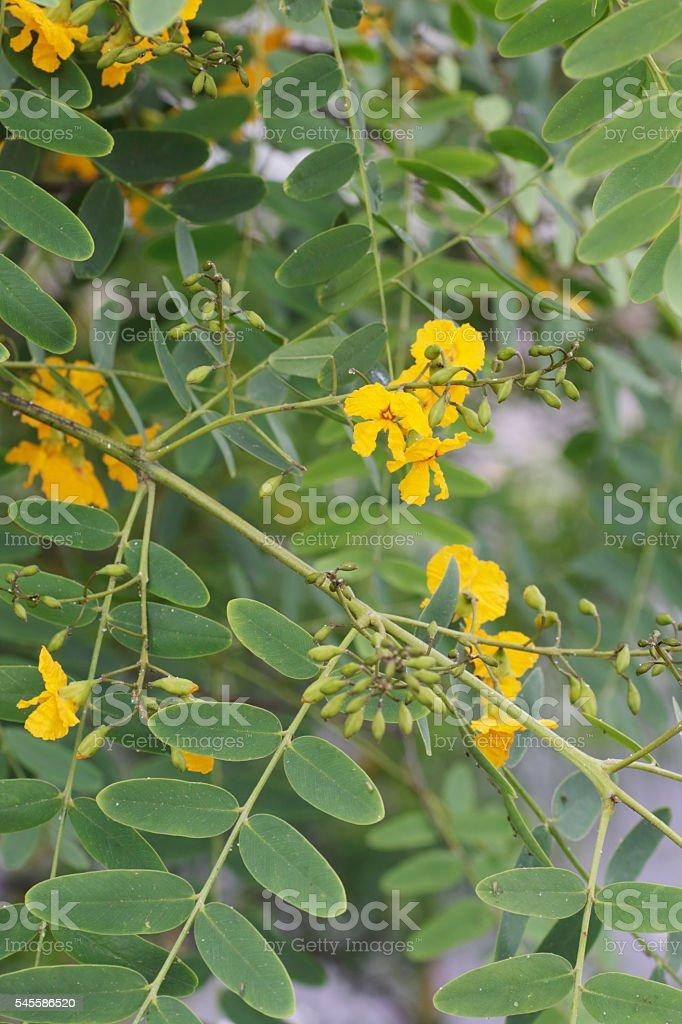 Tipa Tree (Tipuana tipu) stock photo