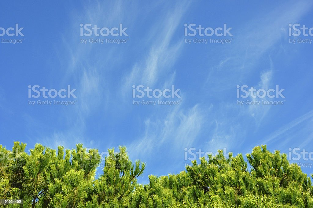 tips of pine trees stock photo