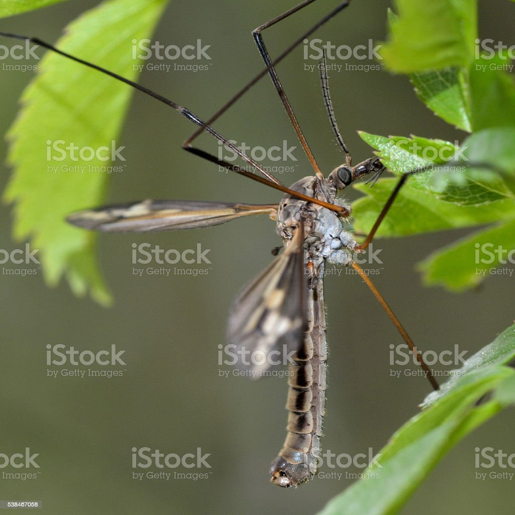 Tipula vittata crane fly stock photo