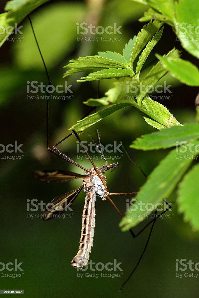 Tipula vittata crane fly showing legs stock photo
