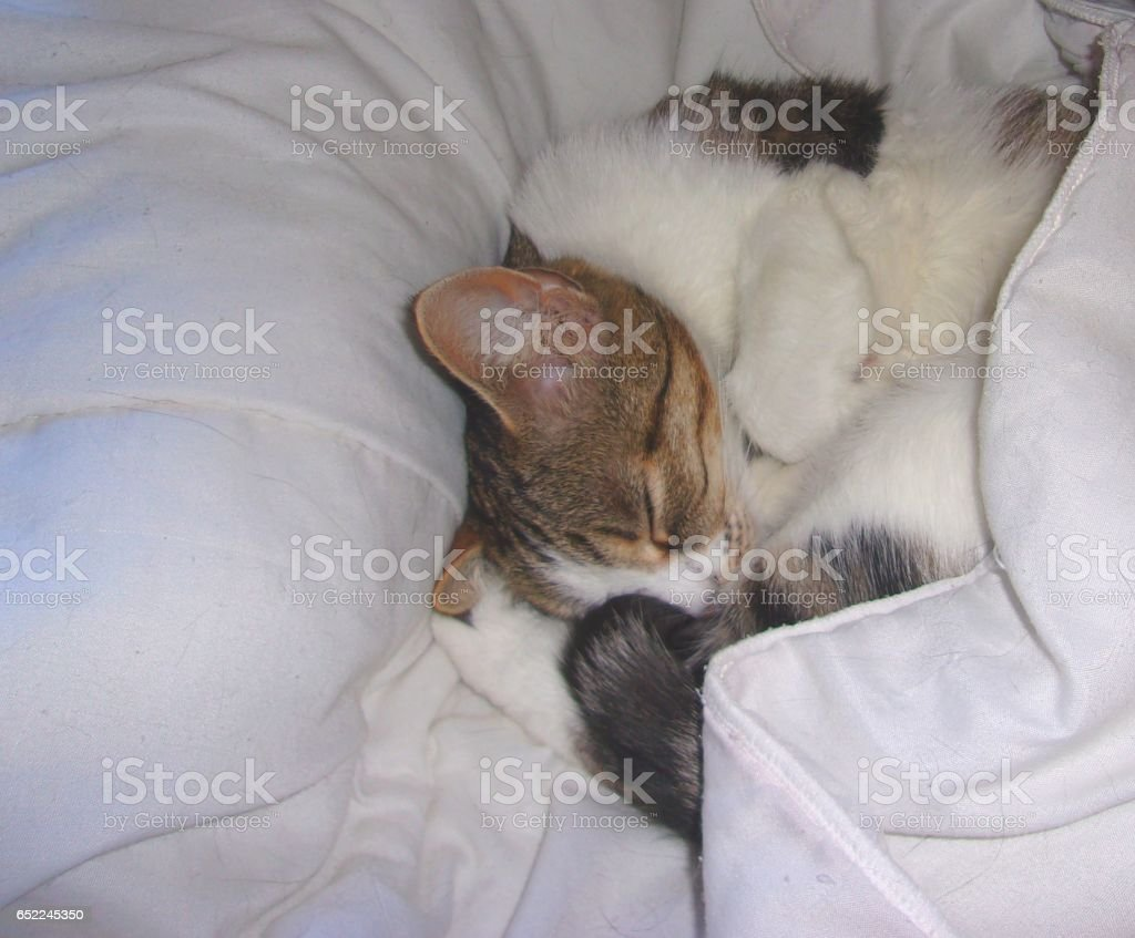 832- Tired cat sleeping in a white blanket stock photo