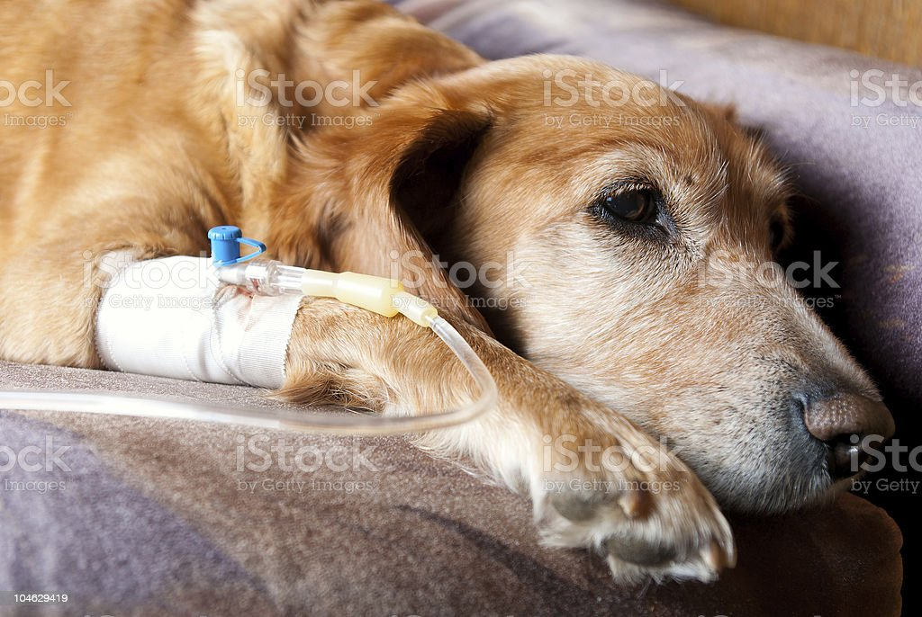 tired dog lying with cannula taking infusion stock photo