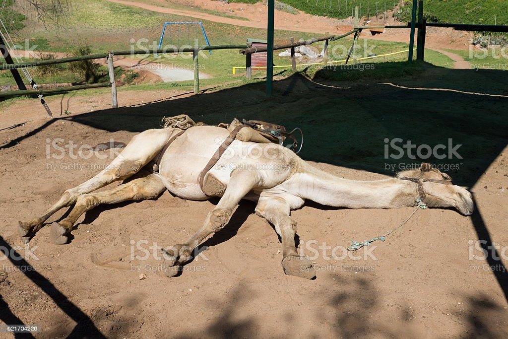 Tired dromedary lying on the ground stock photo