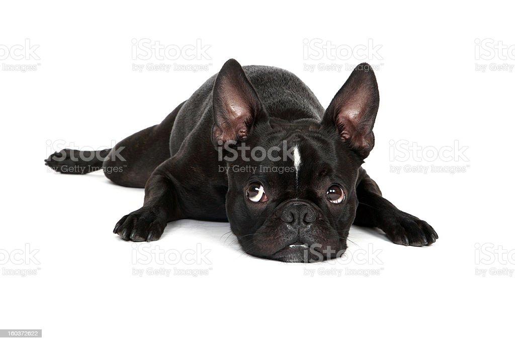 Tired Froston Puppy stock photo