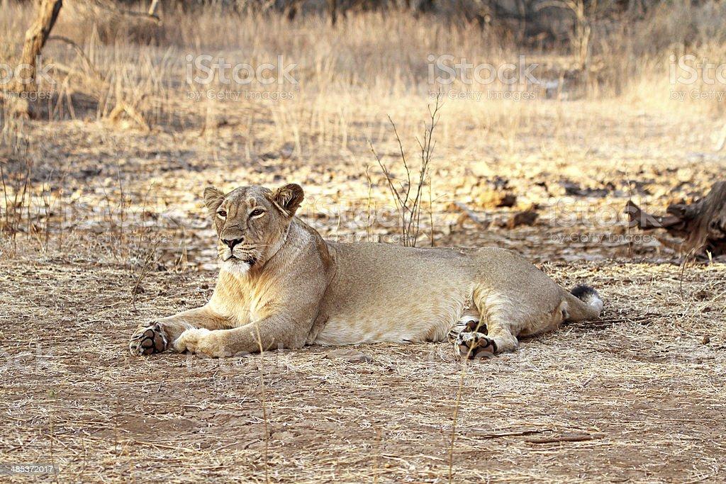 Tired Lioness having Rest stock photo