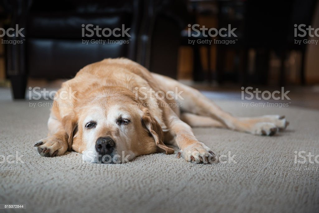 Tired Old Dog stock photo