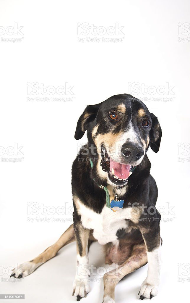 Tired Old Mutt Dog Posing Against White Background royalty-free stock photo
