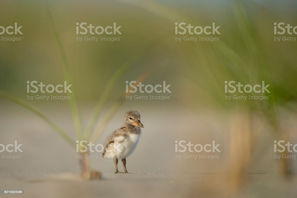 Tired Oystercatcher Chick stock photo