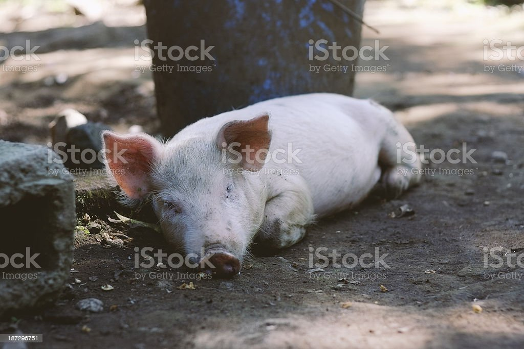 Tired Piglet stock photo