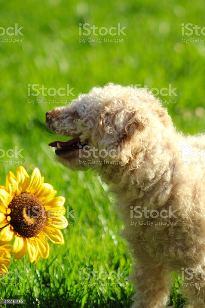 Tired Poodle royalty-free stock photo