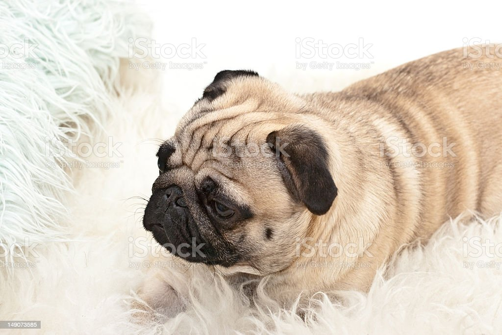 Tired pug lying on the carpet with a thick pile royalty-free stock photo