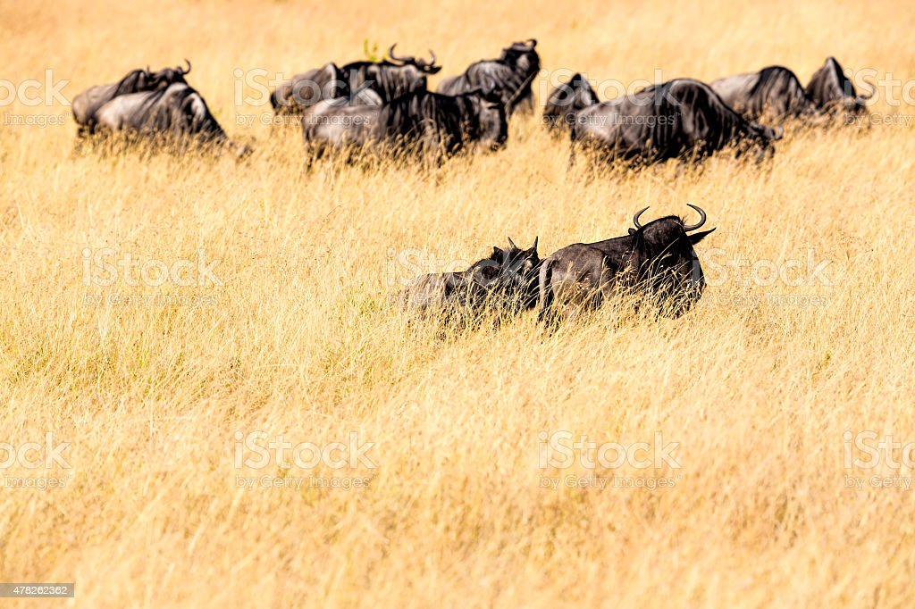 Tired wildebeest herd after Mara river - Animal back stock photo