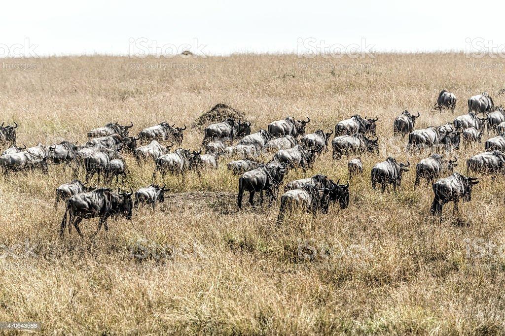 Tired wildebeest herd after Mara river stock photo