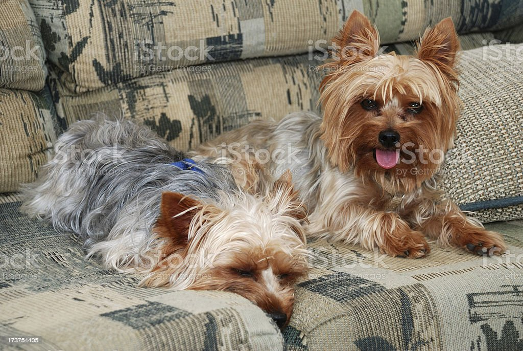Tired Yorkies royalty-free stock photo