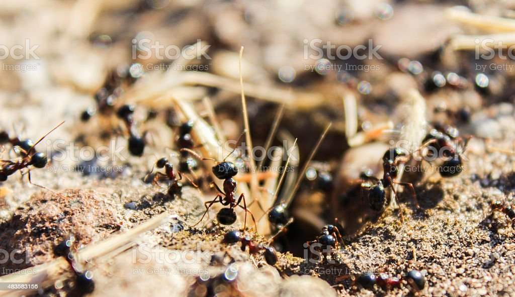 tireless giant black ants govern their world stock photo
