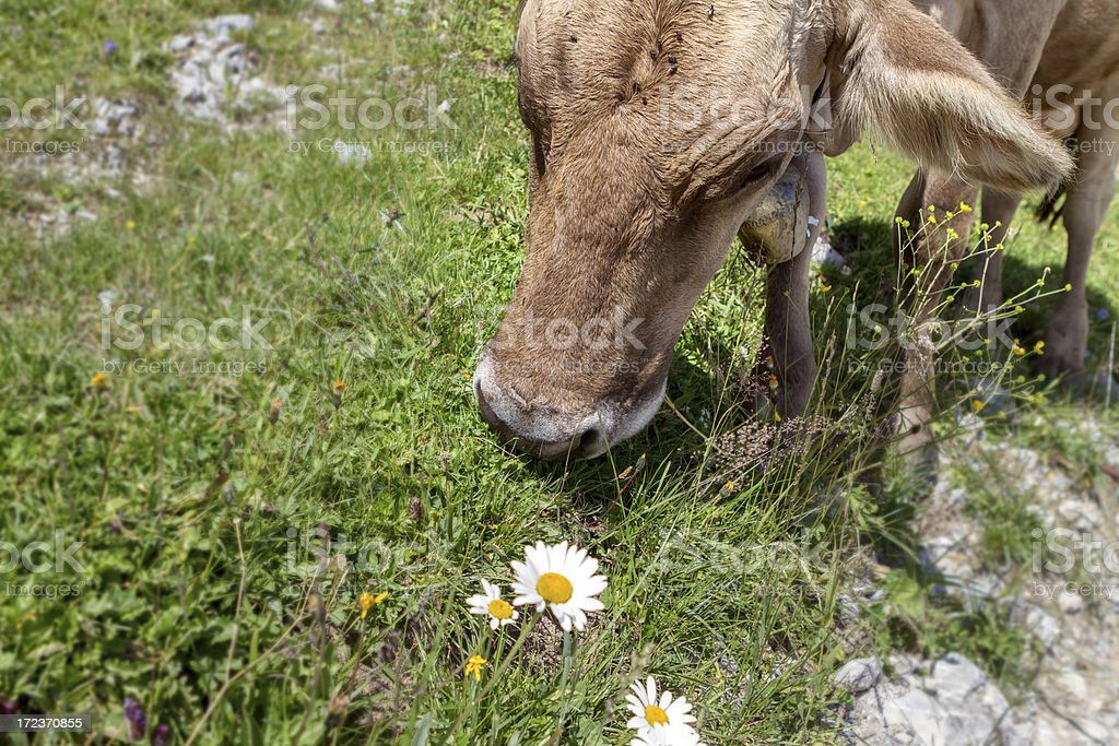 tirolean brown cow on lush meadow stock photo
