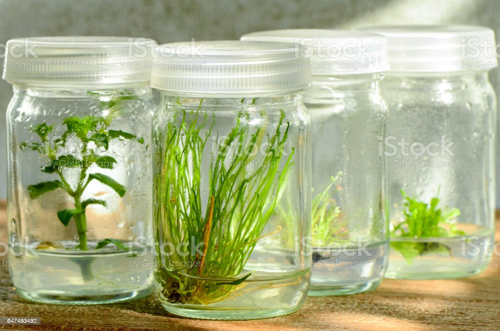 Tissue culture plant from. stock photo